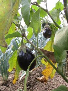 gp-aubergines